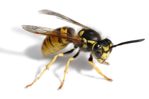 What is the Difference Between Wasps, Hornets, and Yellow Jackets?