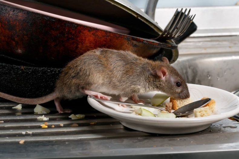 Mice & Rats: How to Tell the Difference