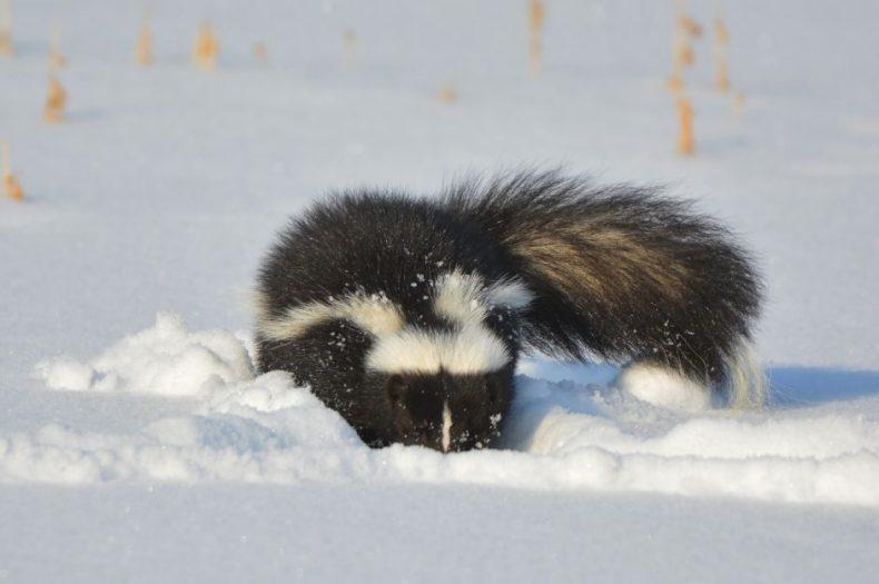 Skunks & Valentine's Day