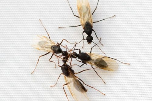 Are Carpenter Ants Invading Your Home?